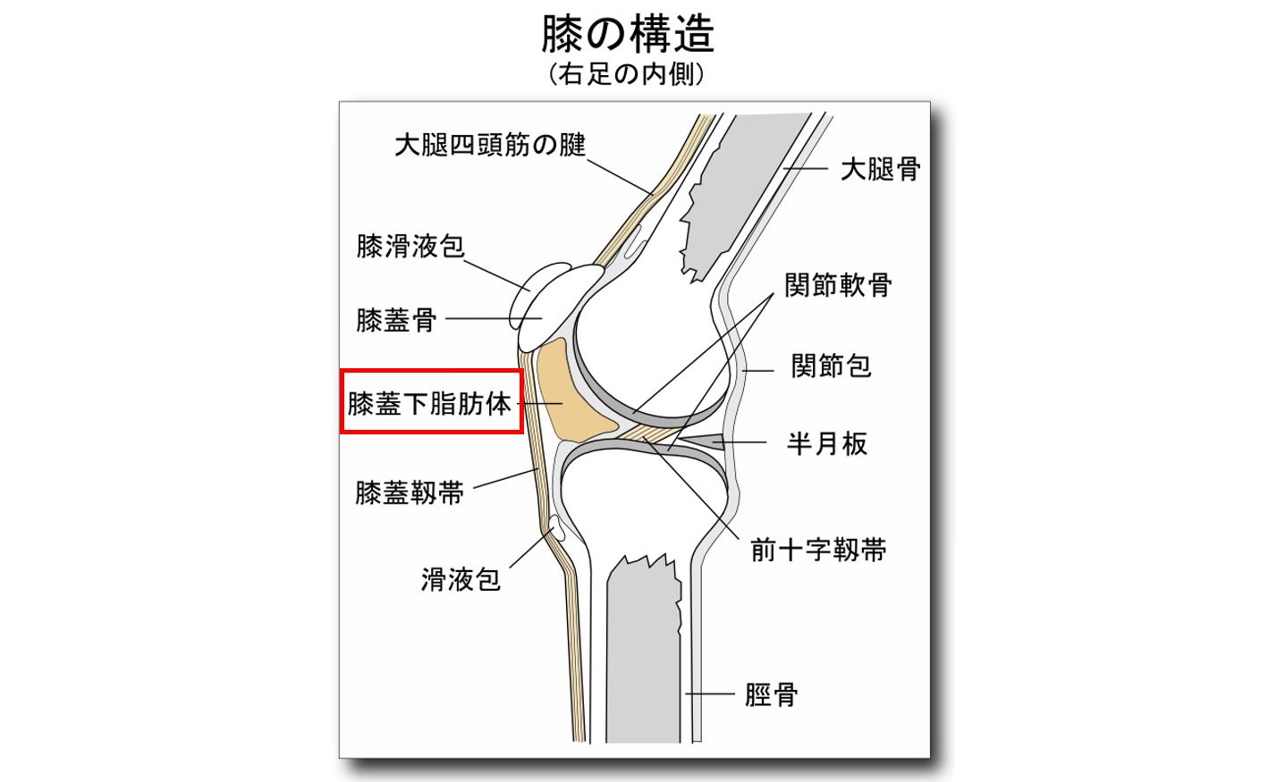 膝痛の原因箇所②:膝蓋下脂肪体